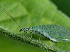 A close up image of a Chrysopidae Lacewing on a leaf