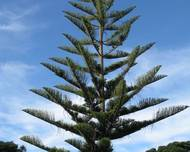 Araucaria heterophylla in New Zealand