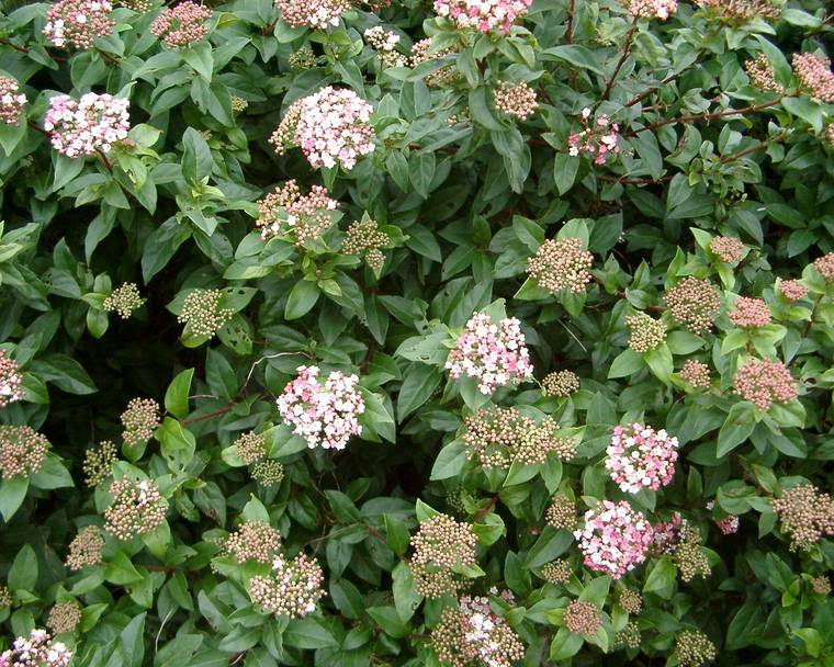Viburnum tinus flowers on a shrub