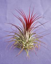 Airplants Tillandsia Ionantha Red ×1 - FREE DELIVERY