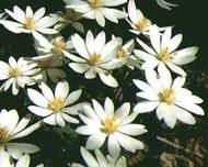 A photo of Bloodroot