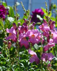 A photo of Snapdragons