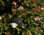 A close up of some Viburnum tinus flowers leaves and fruits in a garden