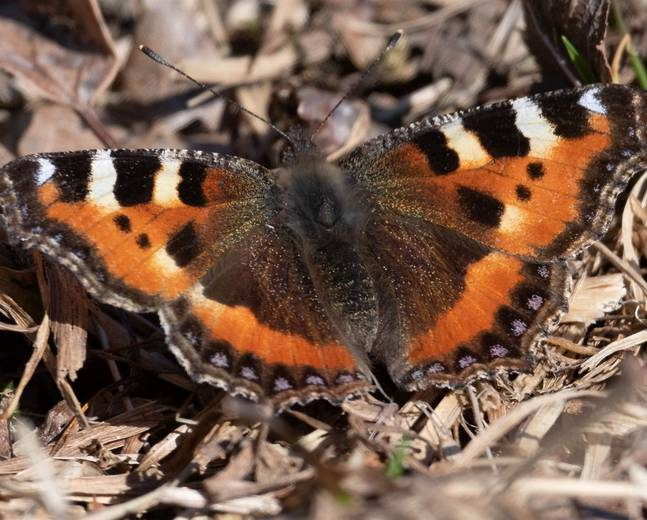 A close up image of small tortoiseshell butterfly Aglais urticae on the ground