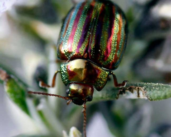 A close up of a colorful Chrysolina americana rosemary beetle