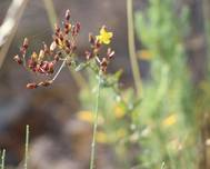 A photo of Hypericum linariifolium