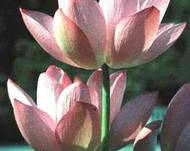A photo of Lotus Lily