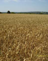 A photo of Wheat