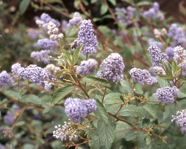 A close up of some purple Ceanothus Topaz flowers