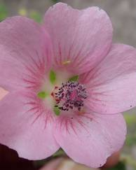 A photo of Rough-Leaf African Mallow