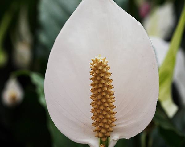 A picture of a Peace Lily