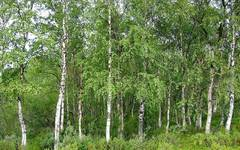 A photo of Paper Birch