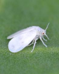A photo of Cabbage Whitefly