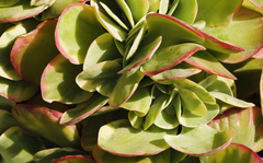 Plant of the week:  Kalanchoe thyrsiflora