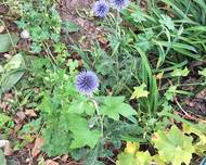 A photo of Small Globe Thistle