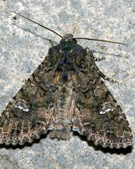 A photo of Cabbage Moth