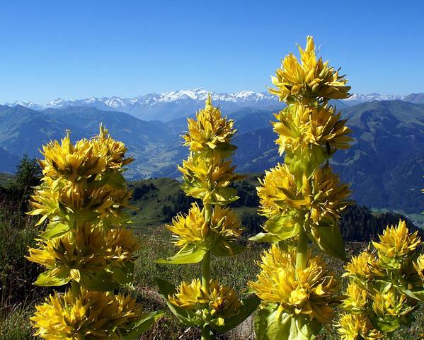 A picture of a Great Yellow Gentian
