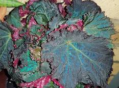 A close up of some metallic green blue Begonia rex 'Royal Velour' leaves with red undersides