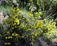 100 semi Coronilla emerus ** SCORPION SENNA
