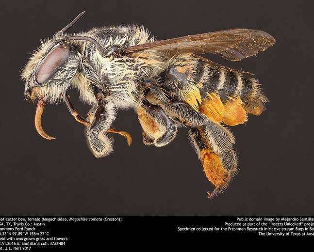 A macro shot of a female leaf cutter bee megachile with pollen stuck to the legs against a black background