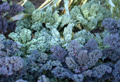 A close up of kale
