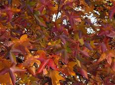 Sweet gum tree leaves in autumn