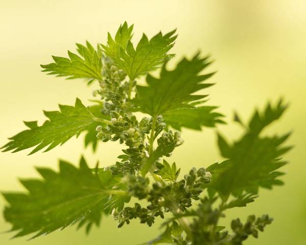A picture of a Annual Nettle