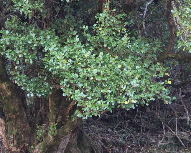 A Griselinia littoralis tree in a forest
