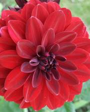Cut Flower Seed Collection-Bold and Bright Flowers- Postage Included