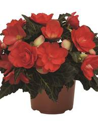 A photo of Begonia 'Unbelievable Miss Malibu'