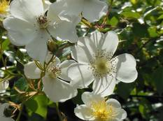 A close up of a white Rosa 'Rambling Rector' flower in a garden