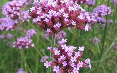 A photo of Vervain