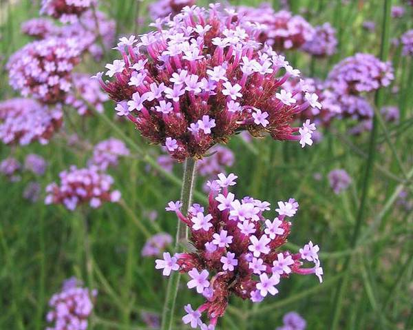 A picture of a Vervain