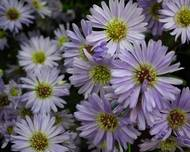 Michaelmas daisy or Aster amellus from Lalbagh Flowershow - August 2012 4722