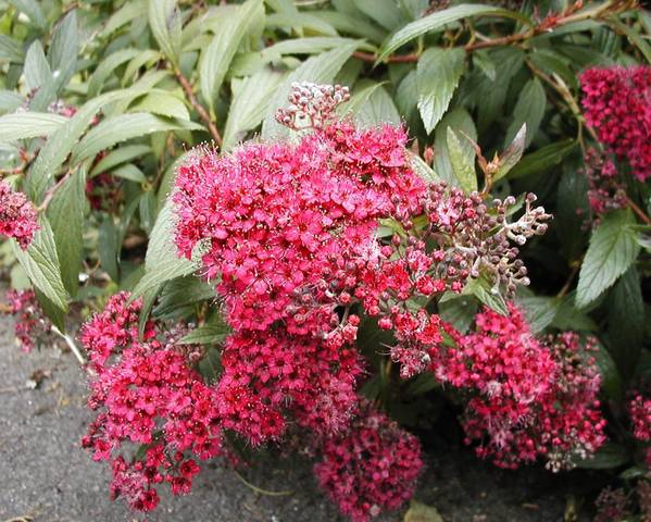 A picture of a Spiraea