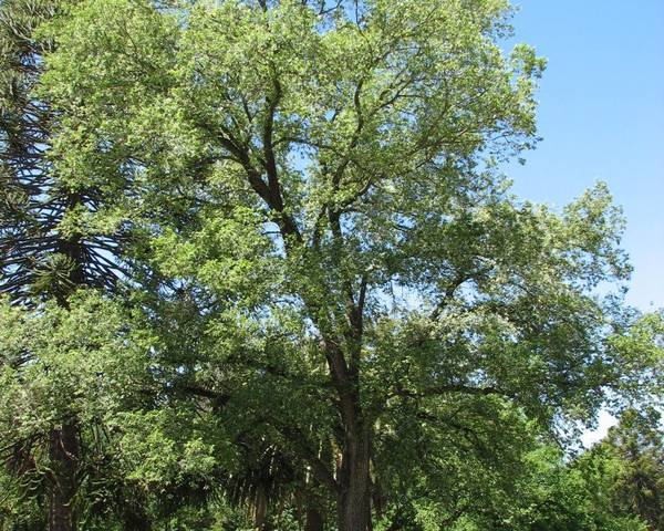 A picture of a European Field Elm