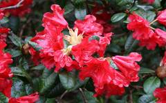 A photo of Rhododendron 'Scarlet Wonder'