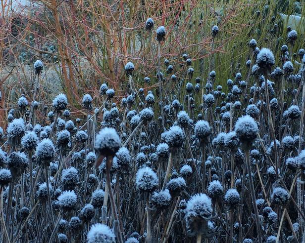 Hoar frost on Rudbeckia seed heads