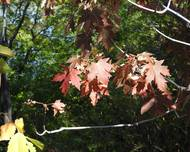 A photo of Acer freemanii