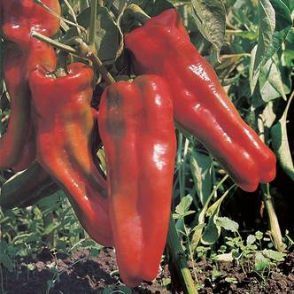 Sweet Pepper. Long Red Marconi