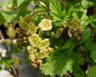 Ribes rubrum (knospend)