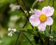 A photo of Windflower