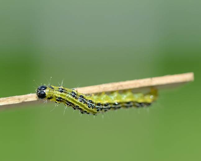 A close up image of a box tree moth caterpillar on a stick
