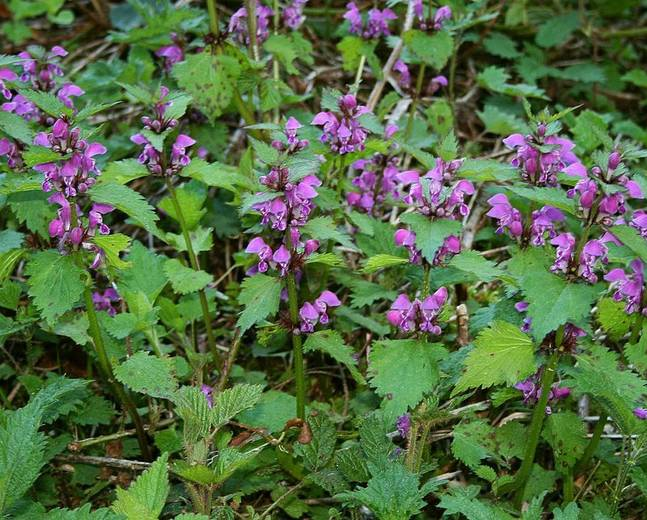 A close up of a flower garden containing Lamium plants with green leaves and purple blooms