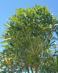 A photo of Cabbage Tree