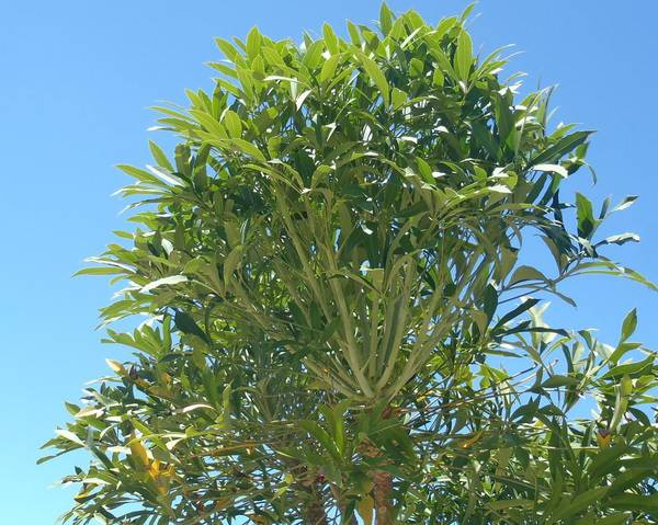 A picture of a Cabbage Tree