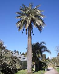 A photo of Chilean Wine Palm