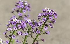 A photo of Arabis