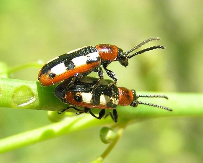 Two mating Crioceris asparagi common asparagus beetle insects on some foliage against a green background