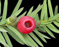 A close up of the green leaves and a red fruit of a Taxus baccata plant